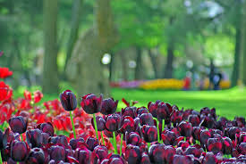 Фестиваль тюльпанов в Стамбуле!